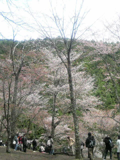 吉野山(奥千本)の山桜