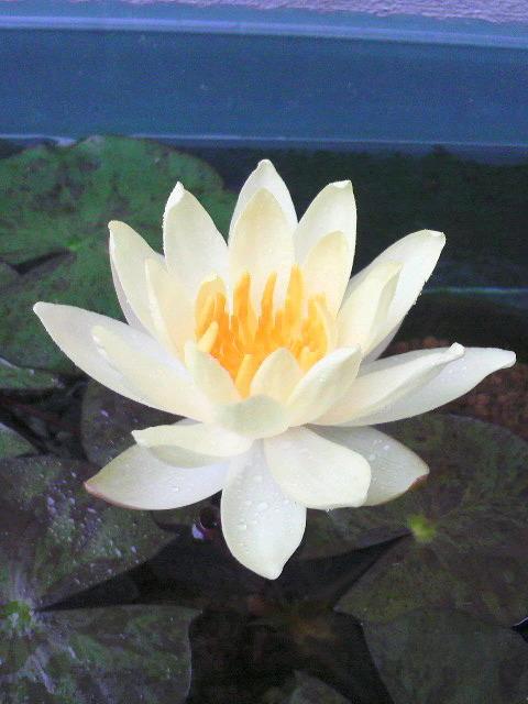 睡蓮の花が咲きました