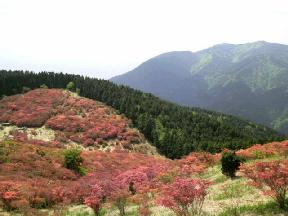 咲き始め(<br />  葛城山のツツジ)