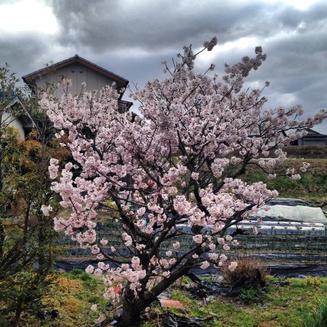 彼岸桜(3月14日の誕生花)